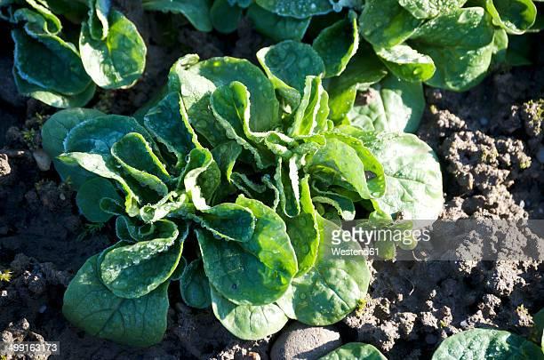 Germany, Lamb's lettuce in field