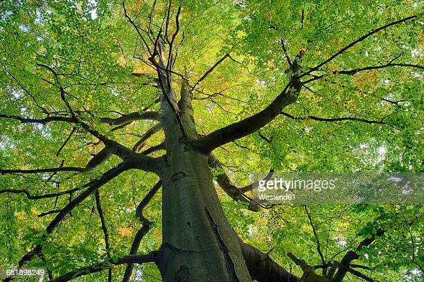 Germany, low angle view of beech tree at Saxon Switzerland National Park