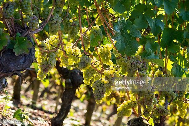 Germany, Lower Franconia, Green grapes in vinyard location Escherndorfer Lump