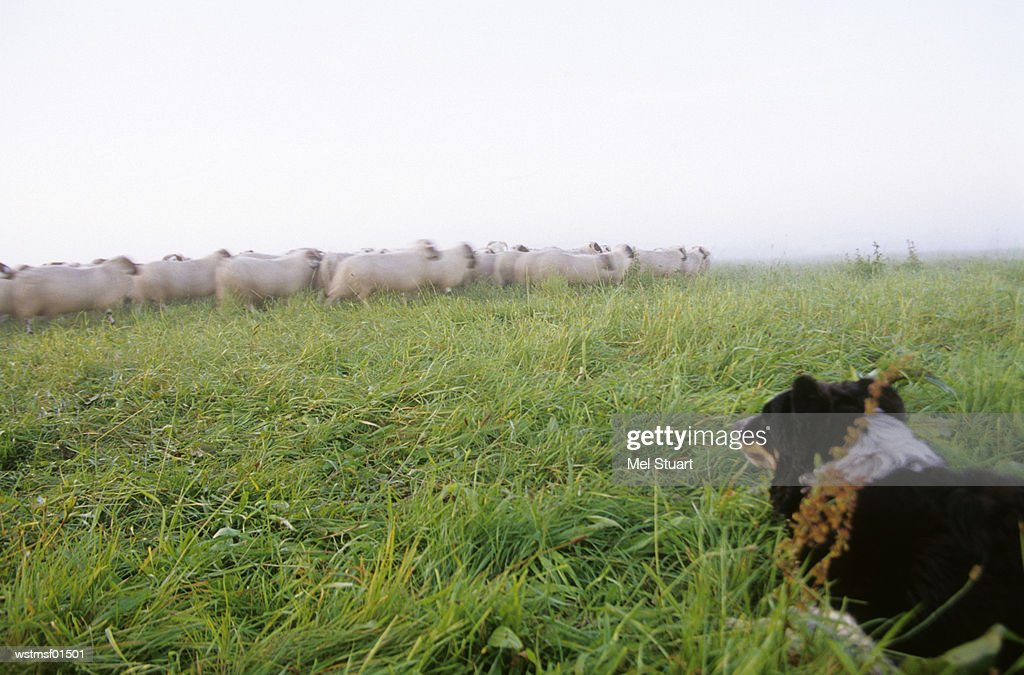 Germany, Lower Saxony, Border Collie, Herd of sheep grazing in field : Stock Photo