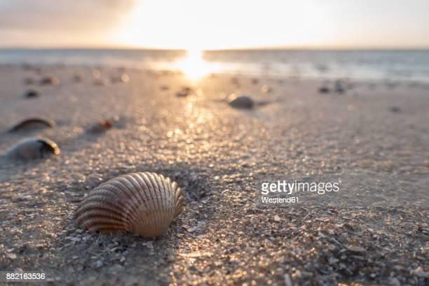 Germany, Lower Saxony, East Frisia, Langeoog, seashells on the beach at sunset