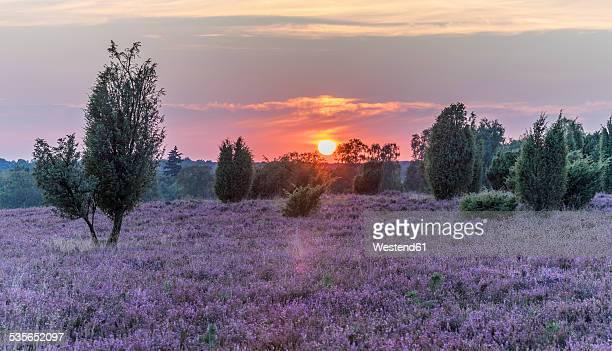 Germany, Lower Saxony, Heath district, Lueneburg Heath at sunset