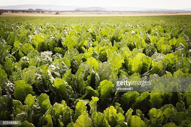 Germany, Lower Saxony, Sugar beet field, Beta vulgaris subsp. vulgaris