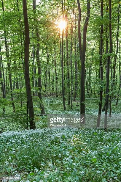 Germany, Lower Saxony, Wolfenbuettel, Elm-Lappwald Nature Park, wild garlic in a forest against the sun