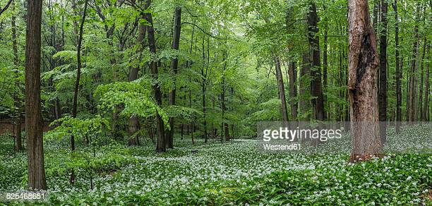 Germany, Lower Saxony, Wolfenbuettel, Elm-Lappwald Nature Park, wild garlic in a forest