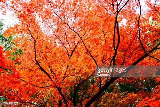 Germany, Maple tree in autumn