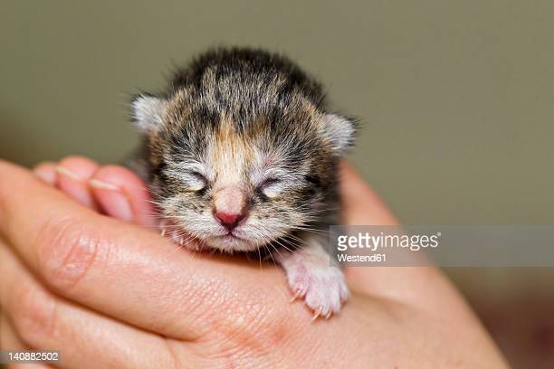 germany, mature woman holding newborn kitten, close up - gattini appena nati foto e immagini stock