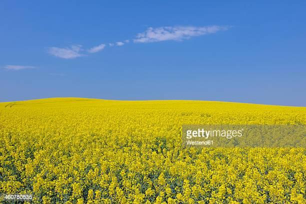 germany, mecklenburg vorpommern, view of yellow rape field, close up - oilseed rape stock pictures, royalty-free photos & images