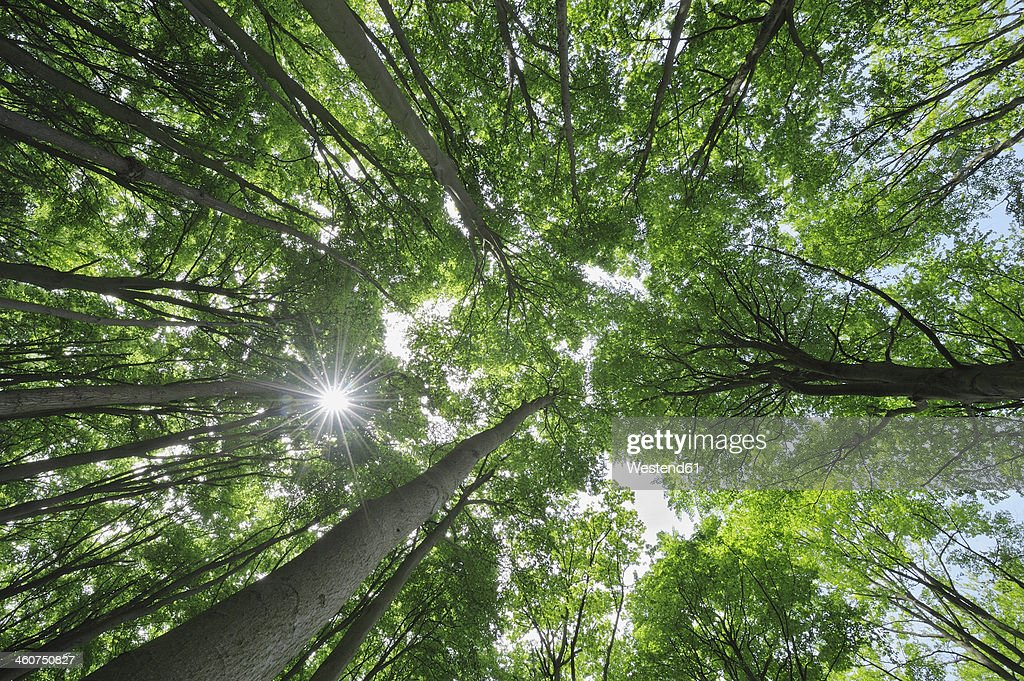 Germany, Mecklenburg Western Pomerania, Beech trees in forest : Foto de stock
