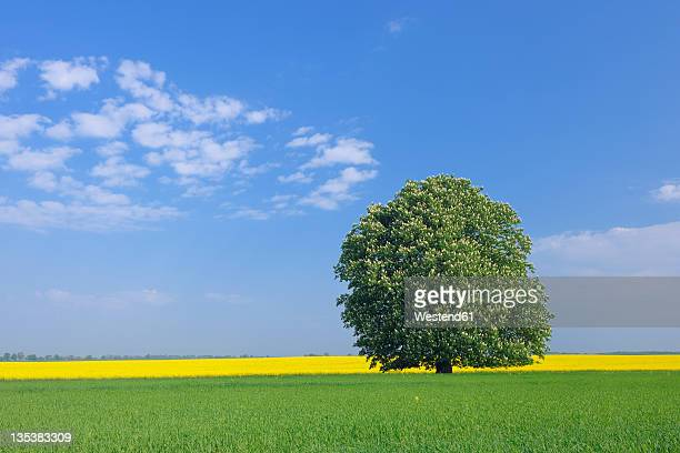 Germany, Mecklenburg-Vorpommern, View of single blossoming horse chestnut tree with rape field in background