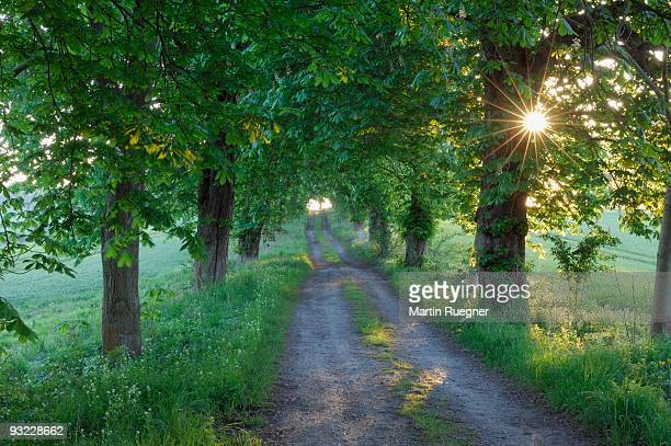 germany, mecklenburg-western pomerania, alley, chestnut tree (aesculus hippocastanum) lined field path - picture of a buckeye tree stock photos and pictures