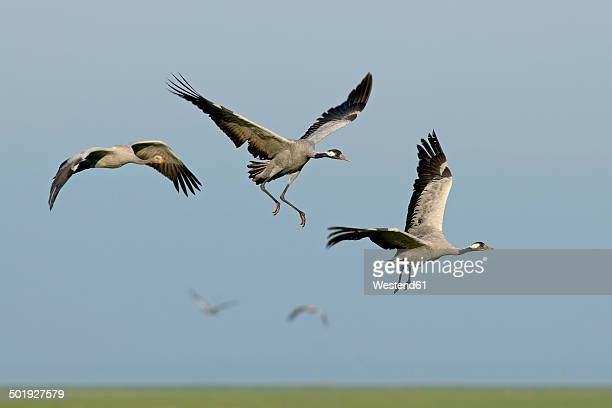 Germany, Mecklenburg-Western Pomerania, Common cranes, Grus grus, Adult and young animals