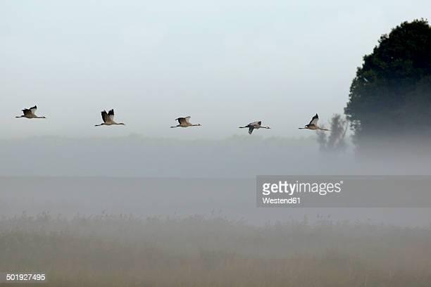 Germany, Mecklenburg-Western Pomerania, Common cranes, Grus grus, flying