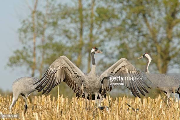 Germany, Mecklenburg-Western Pomerania, Common cranes, Grus grus