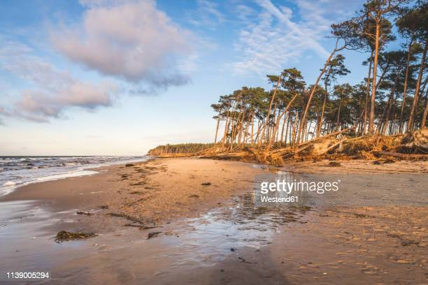 germany, mecklenburg-western pomerania, darss, ahrenshoop, west beach, disrooted trees - fischland darss zingst photos et images de collection
