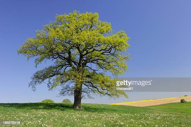 Germany, Mecklenburg-Western Pomerania, Oak tree (Quercus spec.) in meadow