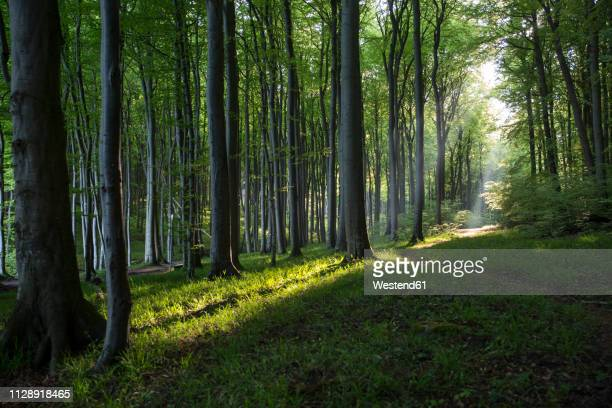 germany, mecklenburg-western pomerania, ruegen, jasmund national park, beech forest - nature reserve stock pictures, royalty-free photos & images