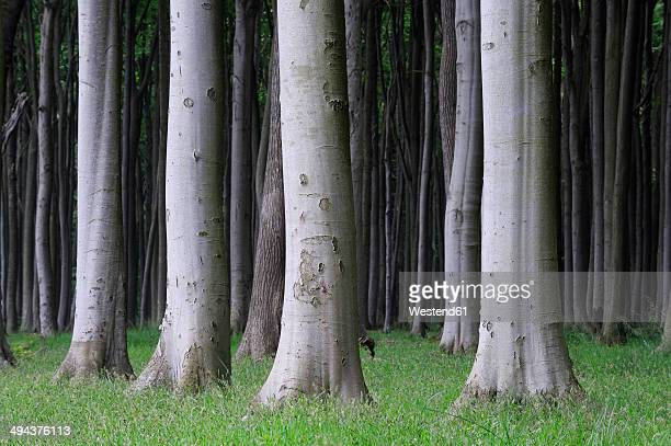germany, mecklenburg-western pomerania, treetrunks of beech forest (fagus) - beech tree stock pictures, royalty-free photos & images