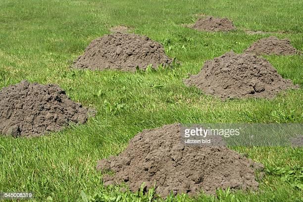 Molehill on a grassland