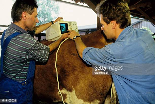 Germany Munich Gene Center of LudwigMaximiliansUniversitaet artificial insemination of a cow