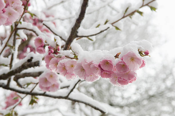 Germany, Munich, Snow Covered Cherry Blossom, Close Up Wall Art