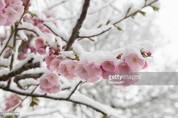 Germany, Munich, Snow covered cherry blossom, close up