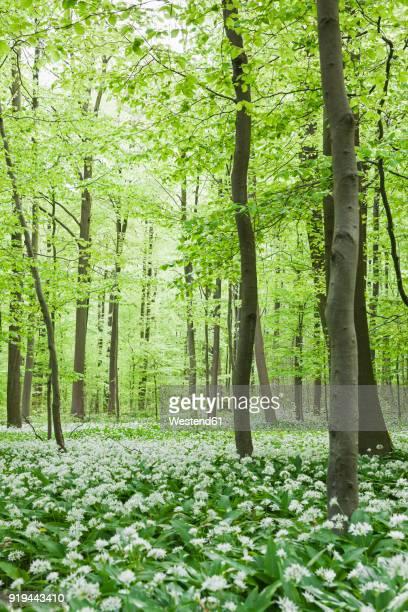 Germany, North Rhine-Westaphalia, Eifel, wild garlic blossom in beech forest