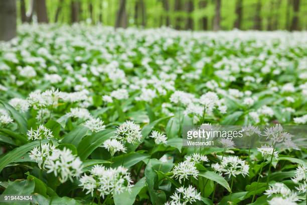 Germany, North Rhine-Westaphalia, Eifel, wild garlic blossom in beech forest
