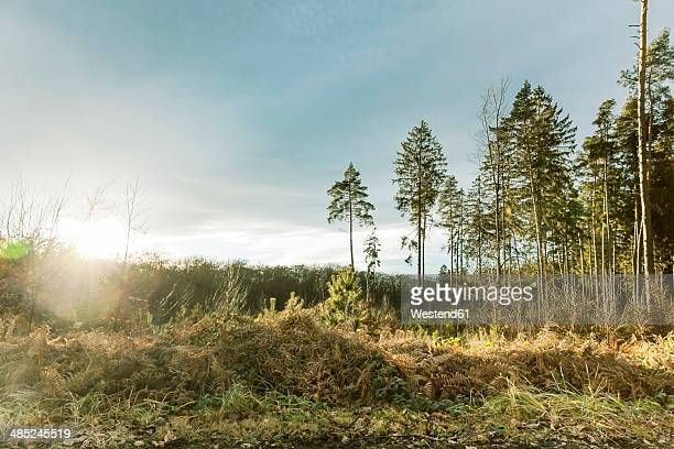 Germany, North Rhine-Westphalia, Bonn, ferns and trees in Waldau on Venusberg at sunrise