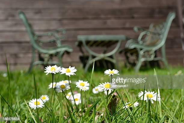 germany, north rhine-westphalia, daisy in spring while benchs in background - sode stock-fotos und bilder