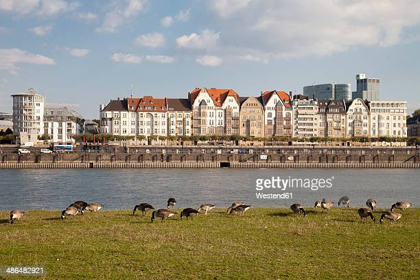 Germany, North Rhine-Westphalia, Duesseldorf, geese on the Rhine riverbank