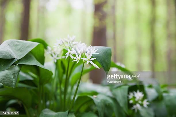Germany, North Rhine-Westphalia, Eifel, blossoms and leaves of wild garlic