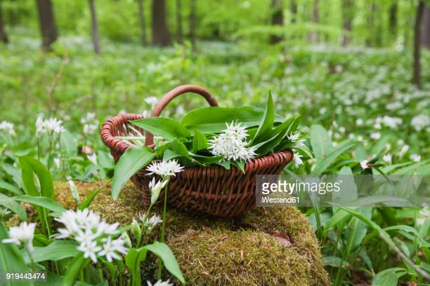 germany, north rhine-westphalia, eifel, wild garlic, allium ursinum, in wicker basket - ail des ours photos et images de collection