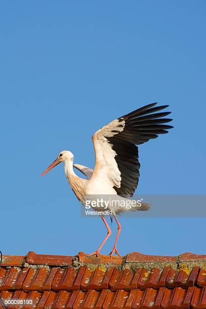 Germany, North Rhine-Westphalia, Petershagen, Stork standing on a roof