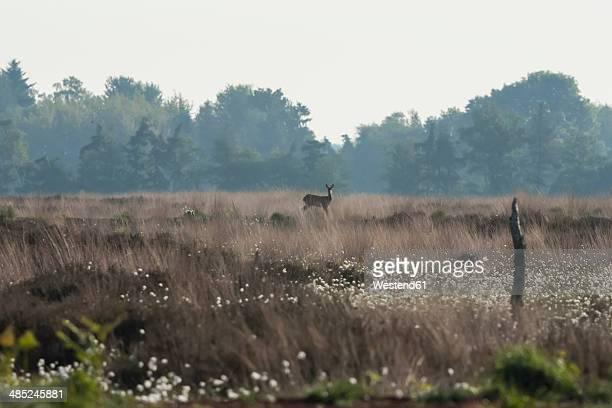 Germany, North Rhine-Westphalia, Recker Moor, Landscape with roe deer