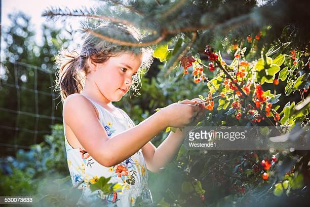 Germany, Northrhine Westphalia, Bornheim, Girl inspecting currant bushes