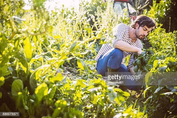 Germany, Northrhine Westphalia, Bornheim, Mid adult man working in vegetable garden