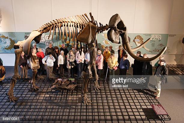Exhibition of the prehistory and local history at the museum called QUADRAT A mammoth
