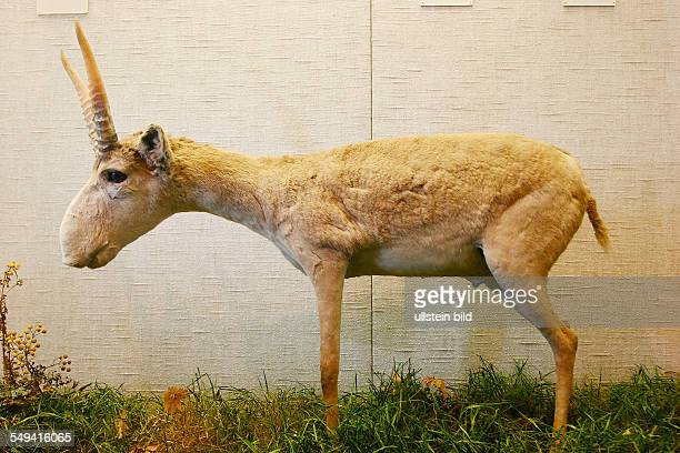 Exhibition of the prehistory and local history at the museum called QUADRAT A Saigaantelope