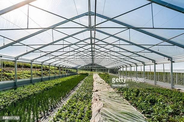 Germany, Organic herbs and kohlrabi growing in greenhouse