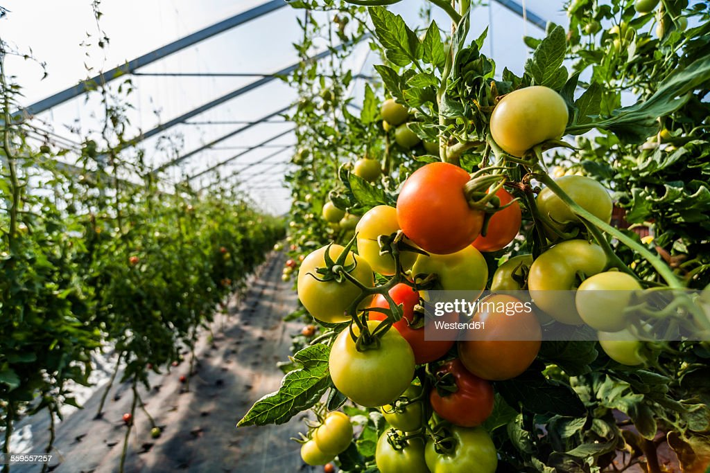 Germany, Organic tomatoes growing in greenhouse : Stock Photo