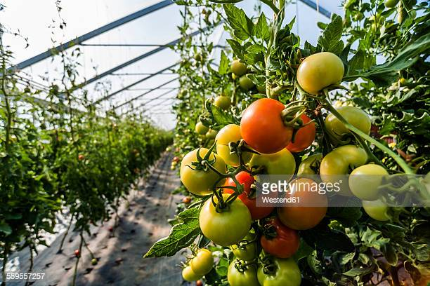 germany, organic tomatoes growing in greenhouse - gewächshäuser stock-fotos und bilder