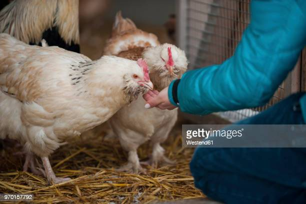 germany, person feeding chicken on farm - poulet volaille domestique photos et images de collection