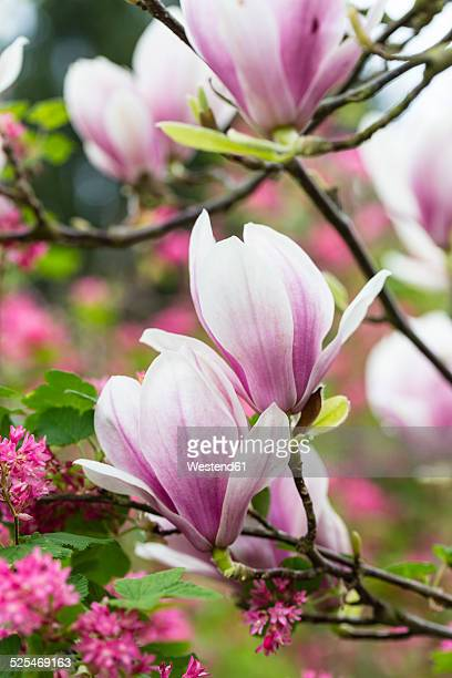 Germany, Pink magnolia blossoms, Magnolia soulangeana