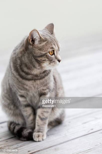 germany, portrait of gray britishshorthaircat sitting outdoors - british shorthair cat stock pictures, royalty-free photos & images
