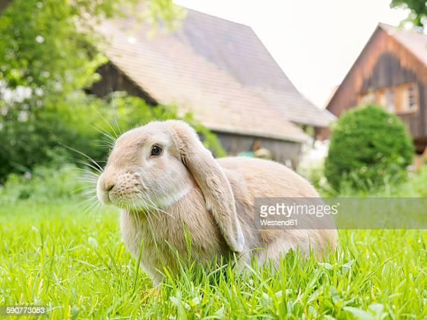 Germany, Rabbit in garden