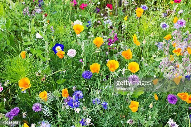 Germany, Rhineland-Palatinate, Andernach, California poppy (Eschscholzia californica), Cornflower (Centaurea cyanus), Borage (Borago officinalis), Convolvulus tricolor, Red flax (Linum grandiflorum)