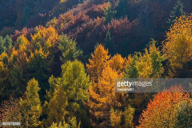 Germany, Rhineland-Palatinate, autumnal mixed forest at Ahr Valley