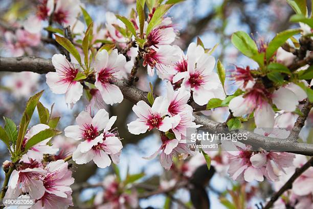 Germany, Rhineland-Palatinate, blossoms of almond tree (Prunus Dulcis)