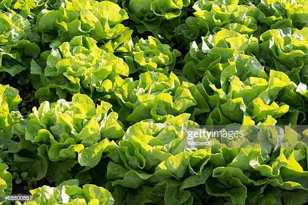 germany, rhineland-palatinate, field, lettuce - lettuce stockfoto's en -beelden